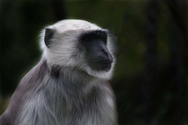 Monkey prosimian old world monkey, animals.