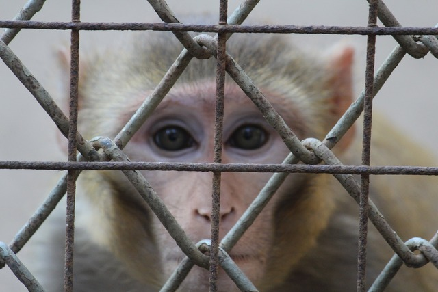 Monkey staring face.