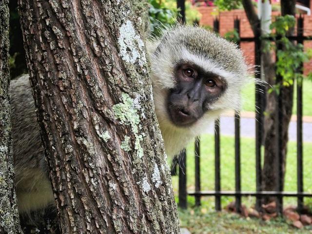 Monkey vervet animal, animals.