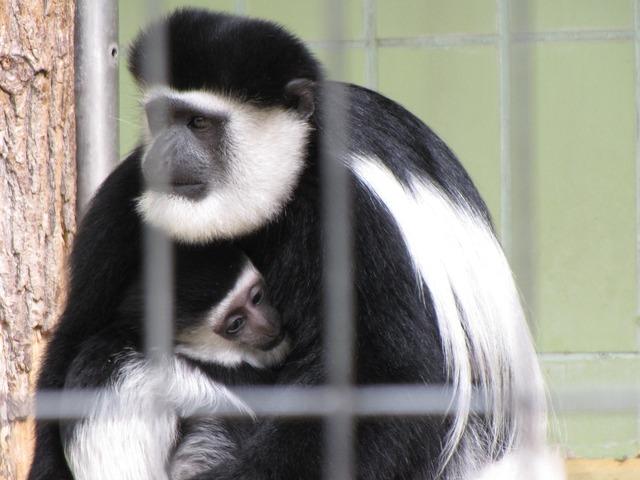 Monkey zoo animal, animals.