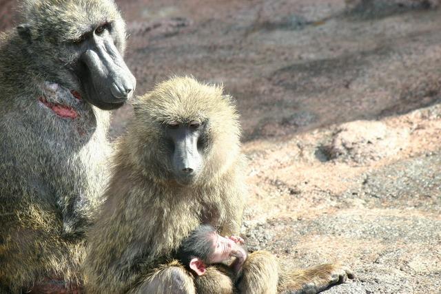 Monkey zoo monkey baby, animals.