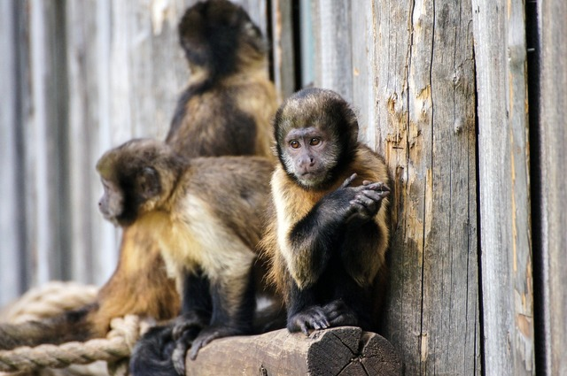 Monkey zoo sad, emotions.