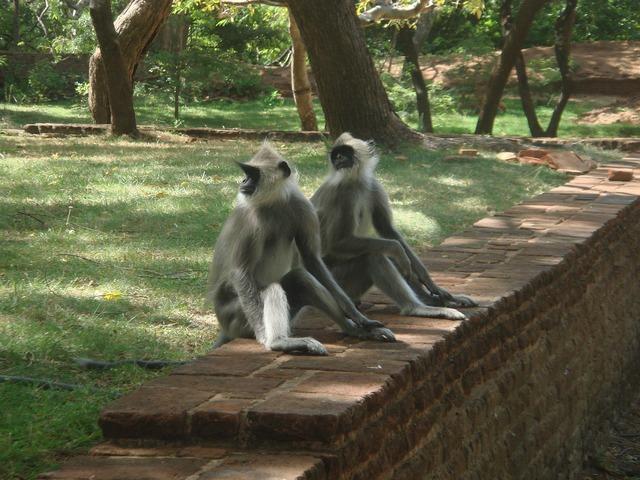 Monkeys monkey family sri lanka, animals.