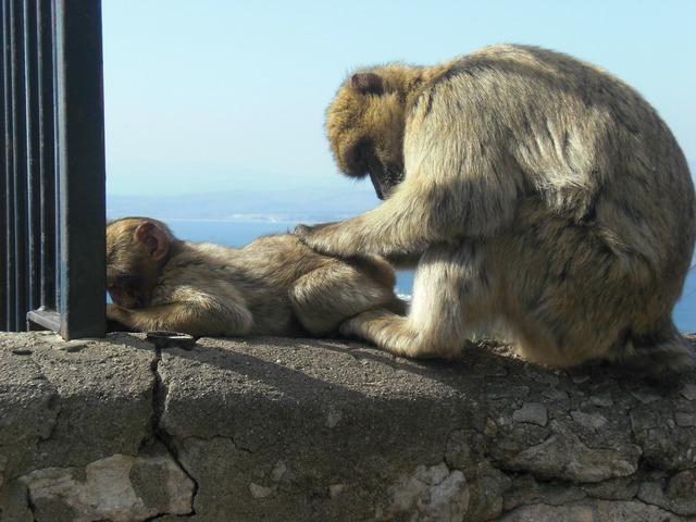 Mono gibraltar monkey family.