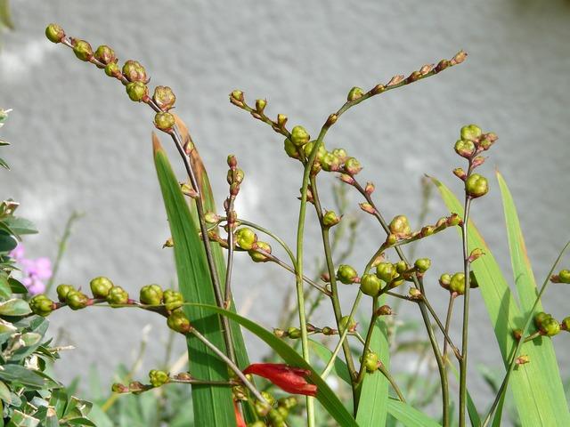 Montbretia seeds seed capsules.