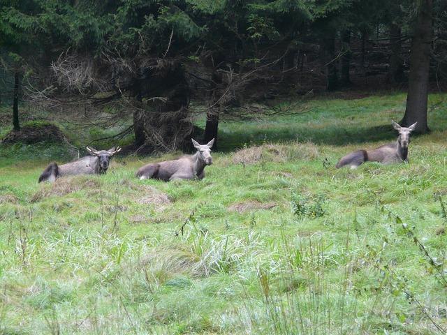 Moose alces alces forest, nature landscapes.