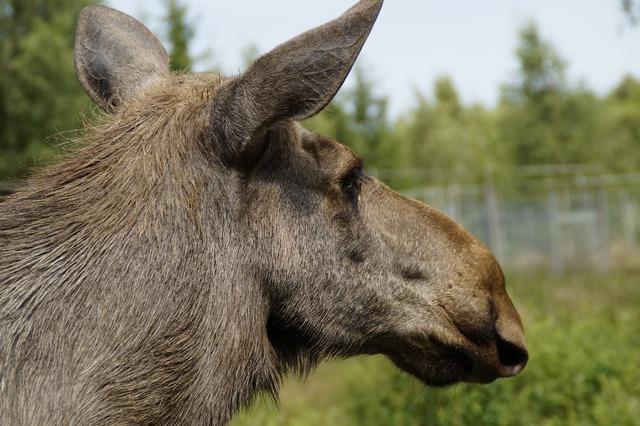 Moose animal portrait head, animals.