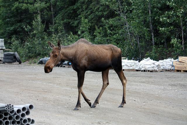 Moose denali denali national park.
