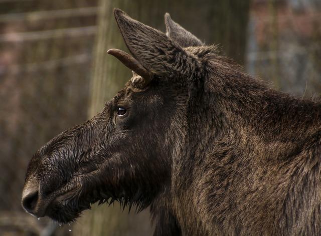 Moose head profile, animals.
