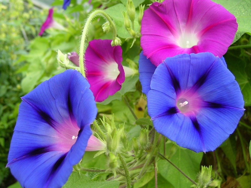 Morning glory flowers blooming, nature landscapes.