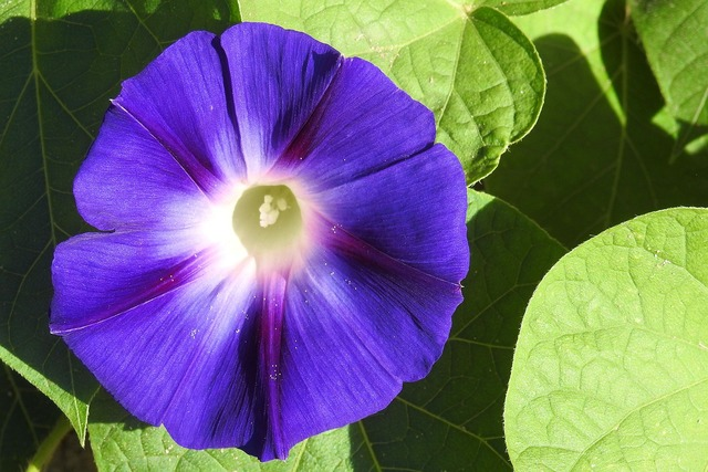 Morning glory winds blue, nature landscapes.