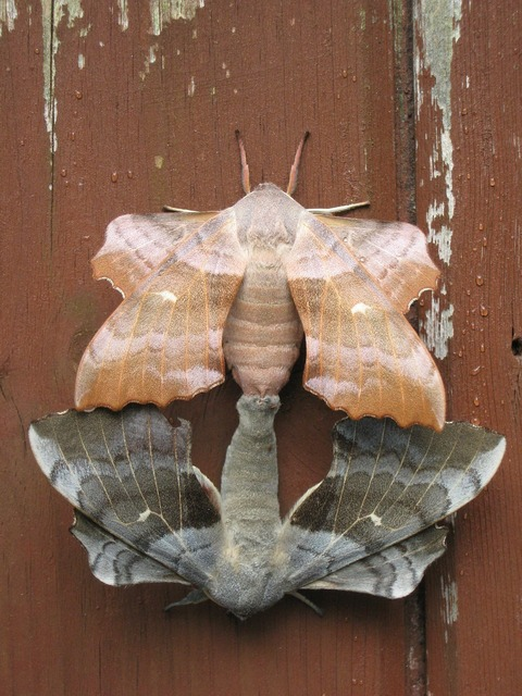 Moths pairing combines, animals.
