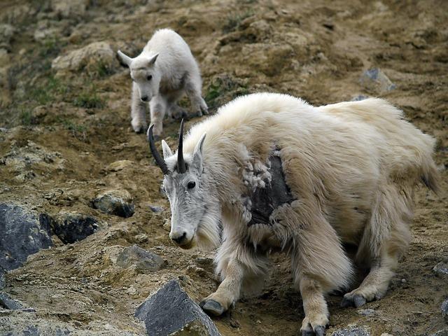 Mountain goat canadien rockys animal, animals.