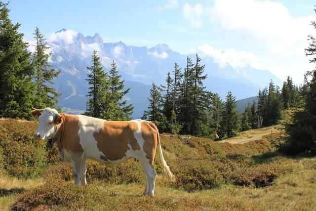 Mountain landscape cow austria.