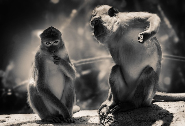 Mountain monkey animal ape, animals.
