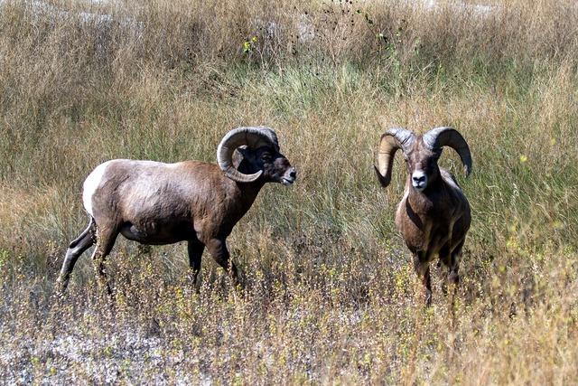Mountain sheep sheep wild animal.