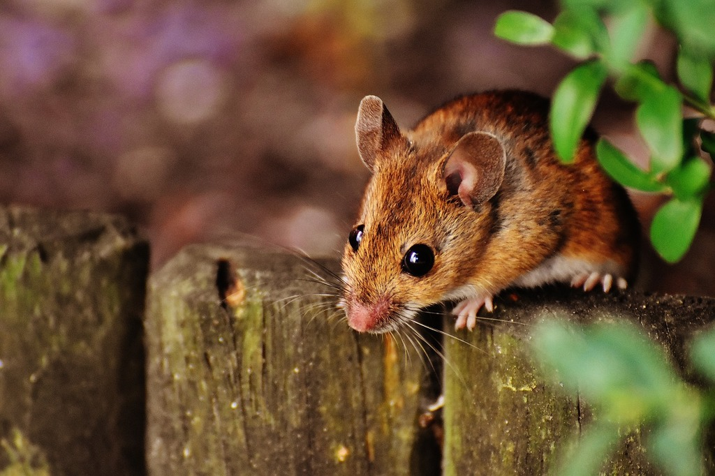 Mouse rodent cute, animals.