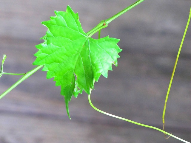 Muscadine vine floral, nature landscapes.