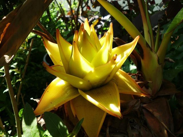 Musella lasiocarpa golden lotus banana banana, nature landscapes.