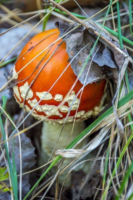 Mushroom amanita autumn, nature landscapes.