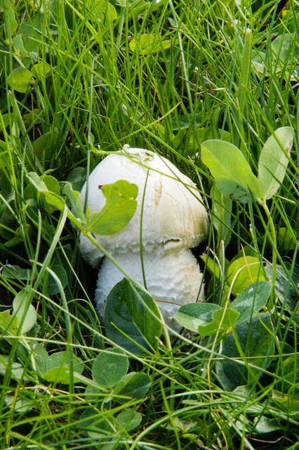 Mushroom hidden in the grass.
