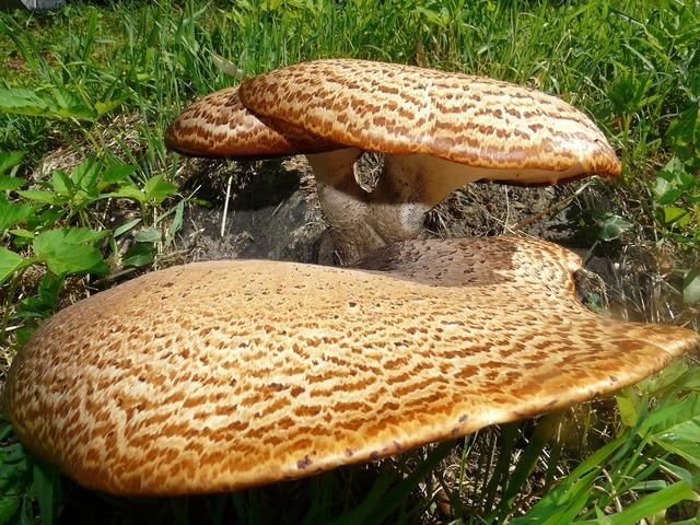 Mushroom tree fungus polyporus squamosus stalk.