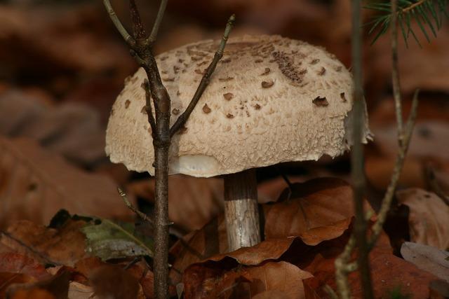 Mushroom white mushroom giant mushroom, nature landscapes.