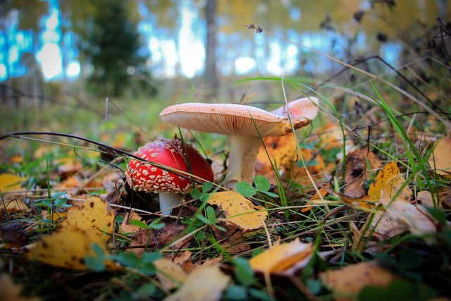 Mushrooms amanita forest, nature landscapes.