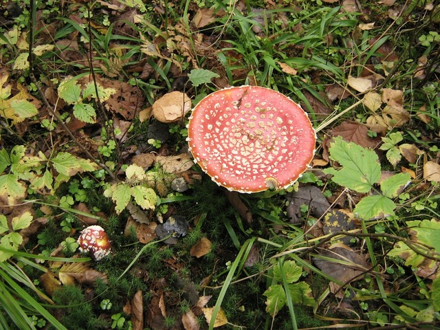Mushrooms toadstool red, nature landscapes.