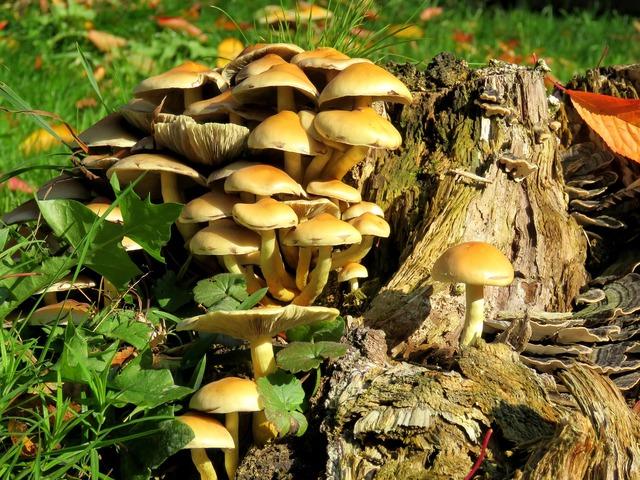 Mushrooms tree stump autumn.