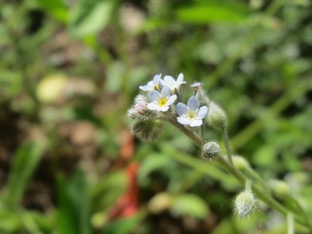Myosotis arvensis field forget-me-not wildflower, nature landscapes.