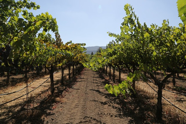 Napa valley petite verdot grapes.