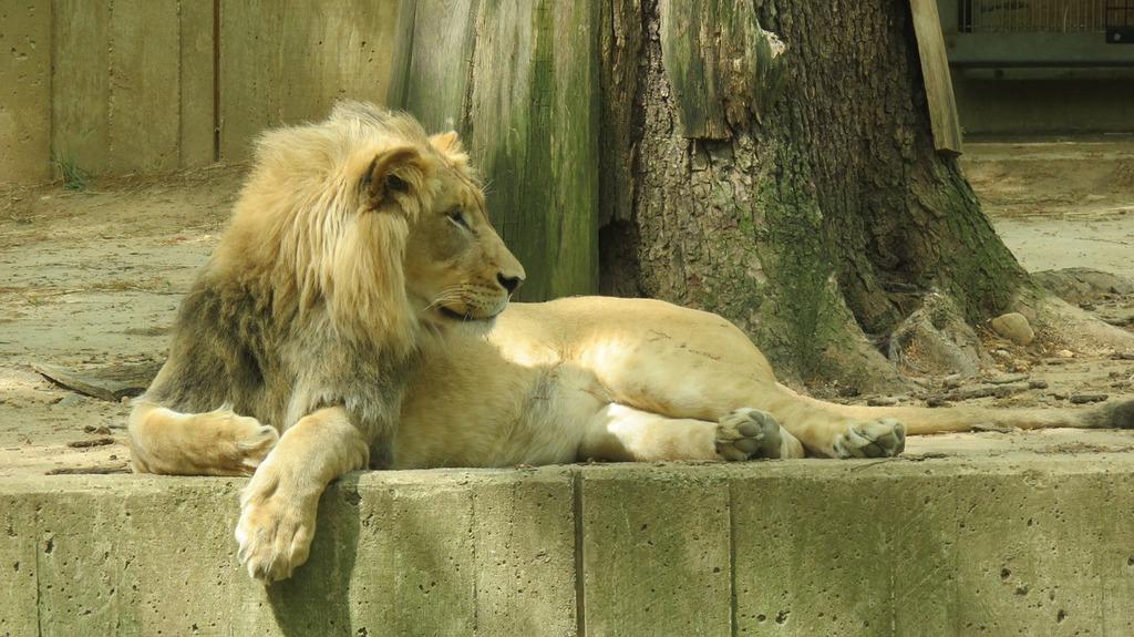 National zoo washington lion.