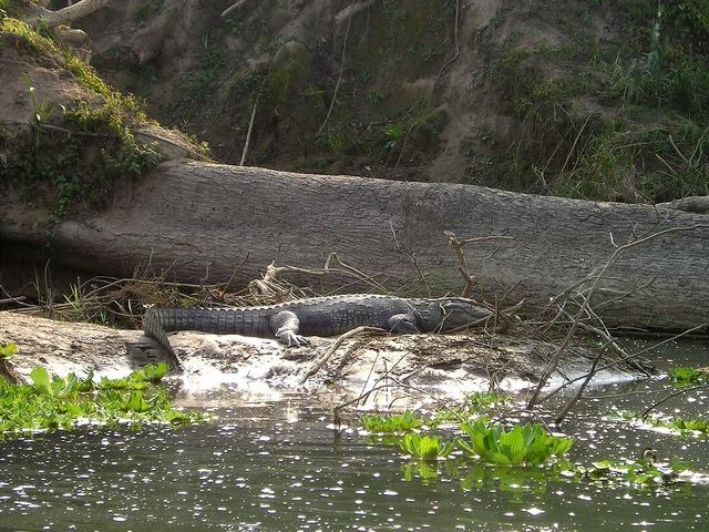 Nepal aligator chitwan.