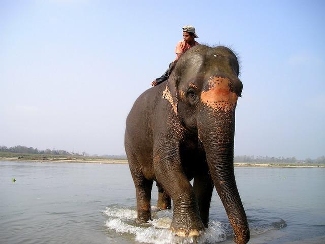 Nepal elephant elephant driver.