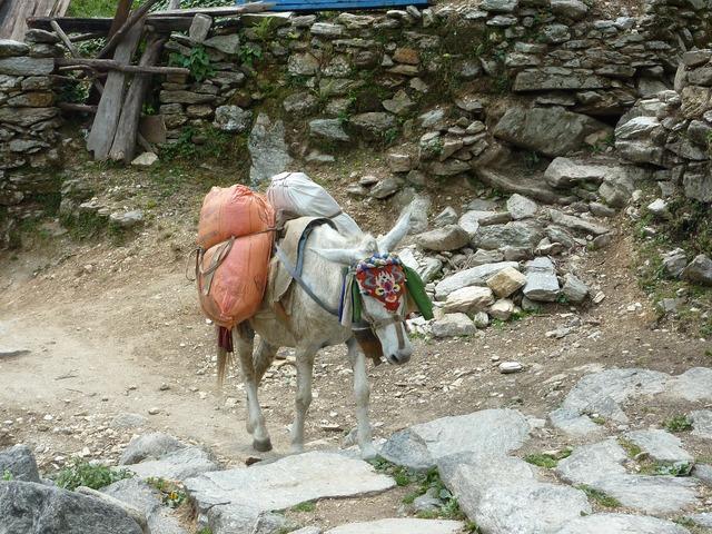 Nepal himalayas annapurna, animals.