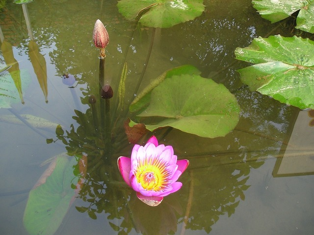 Nepal lotus blossom water lily.