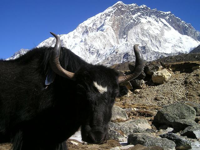 Nepal yak tibetan, transportation traffic.