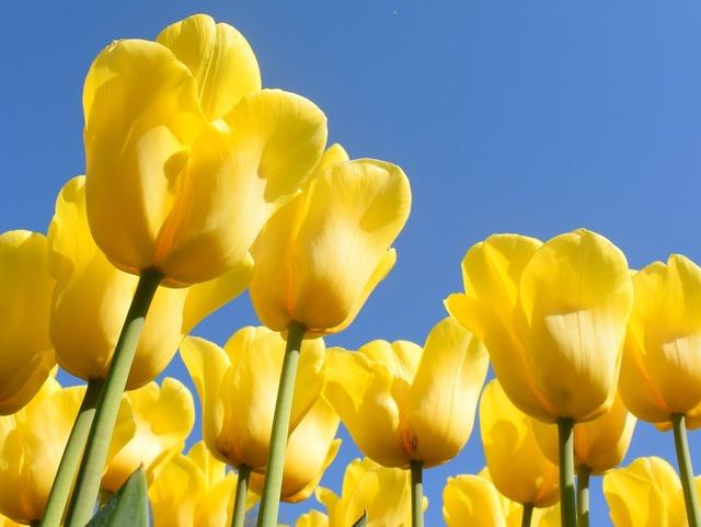 Netherlands tulips keukenhof, nature landscapes.