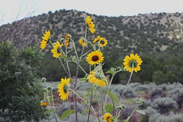 New mexico desert flowers southwest desert, nature landscapes.