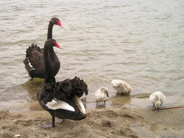 New zealand swans black, people.