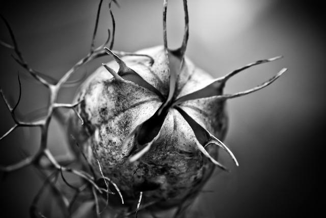 Nigella boll garden plant, nature landscapes.