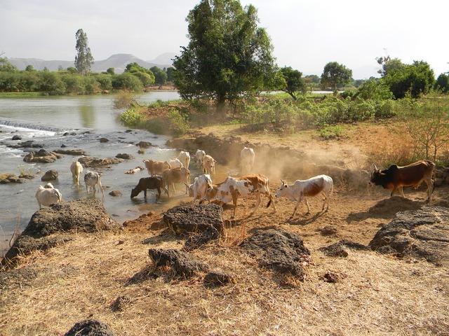 Nile cows livestock.