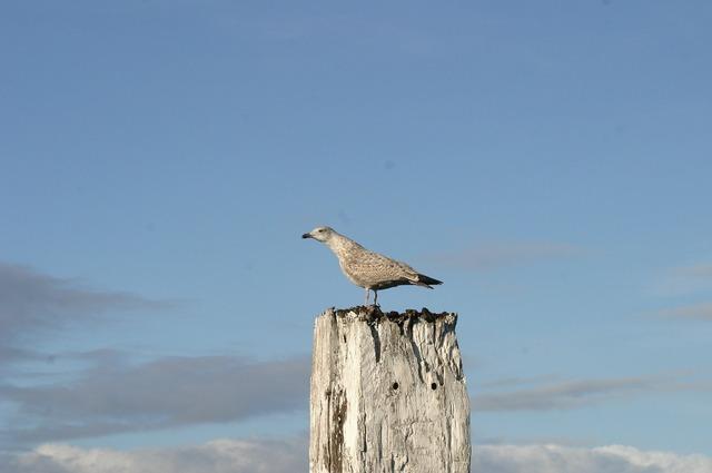 Norddeich seagull bird, animals.