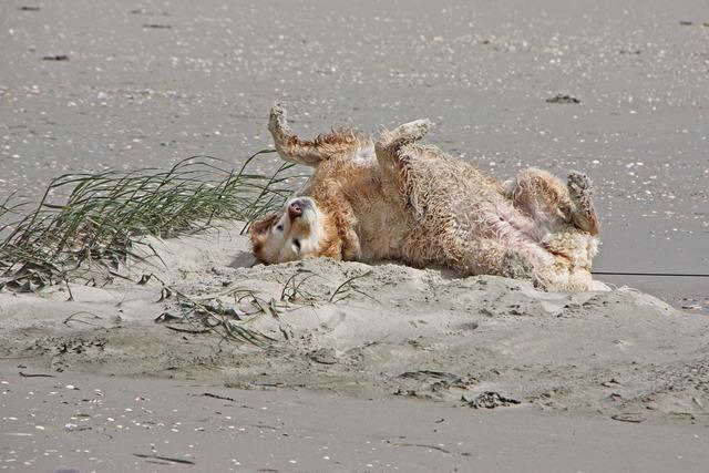 North sea dog golden retriever, animals.