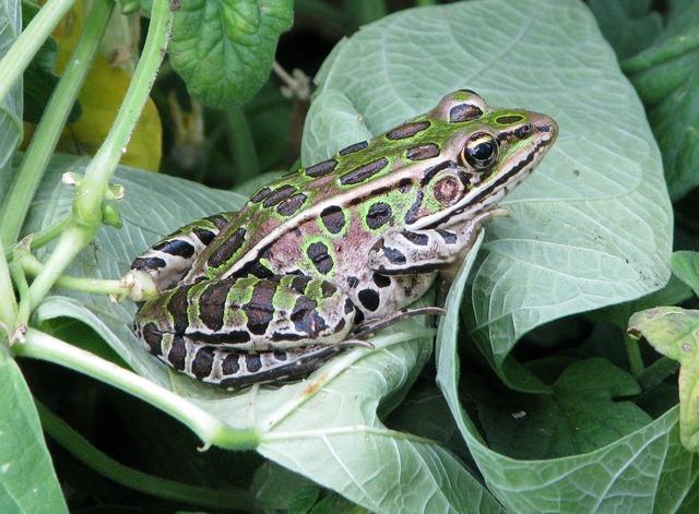Northern leopard frog lithobates pipiens rana pipiens.