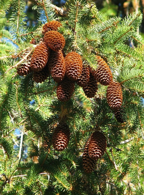 Norway spruce picea abies cones.