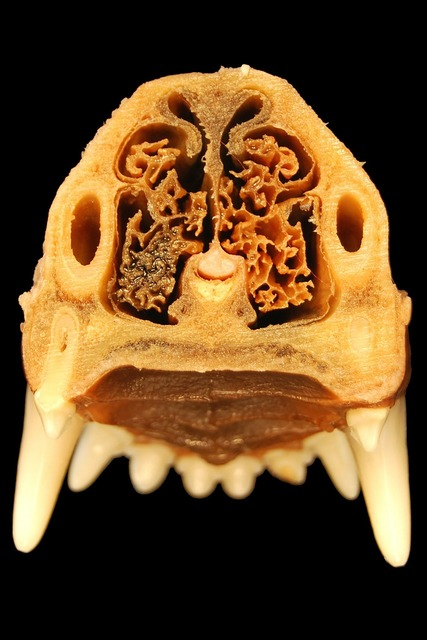 Nose tooth anatomy, health medical.