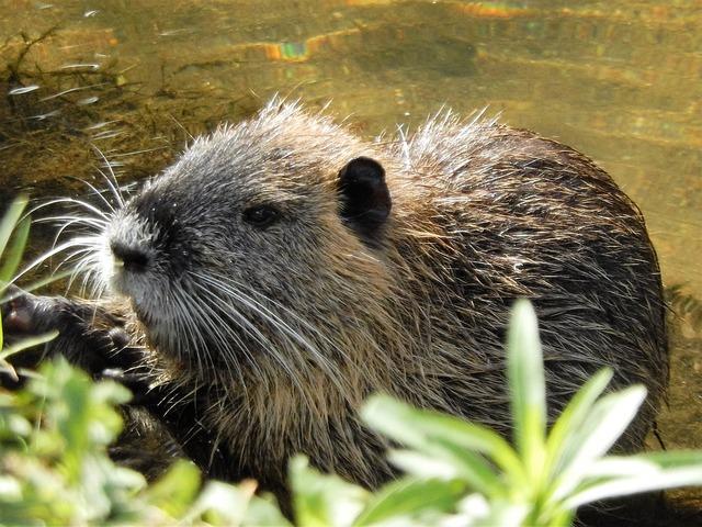 Nutria river water rat.