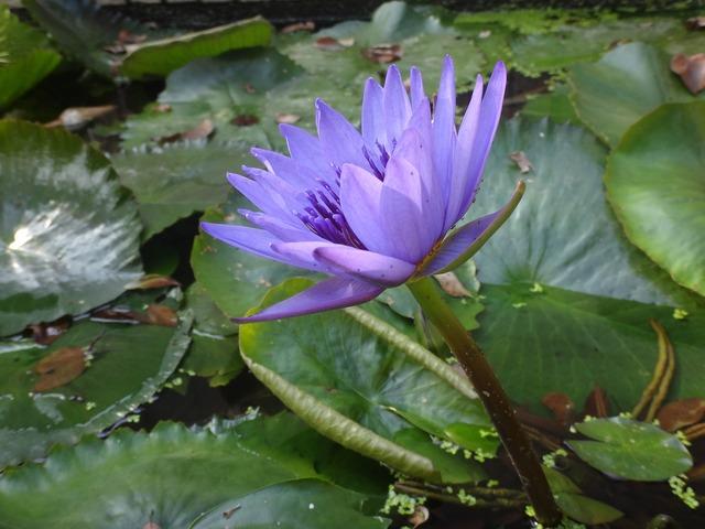 Nymphaea alba lotus purple, nature landscapes.